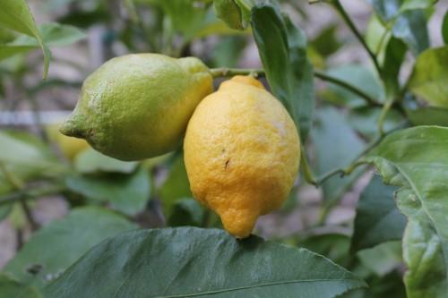 Limoni sul Lago di Garda