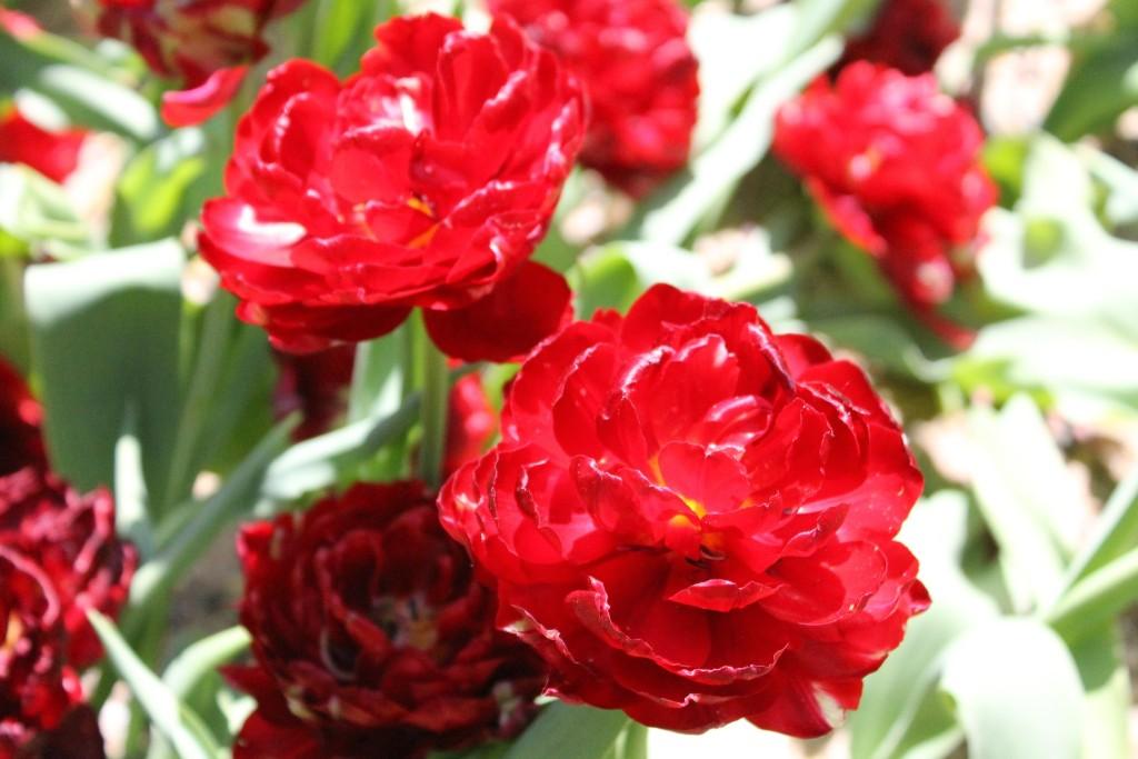 Parco Sigurtà - Tulipani rossi