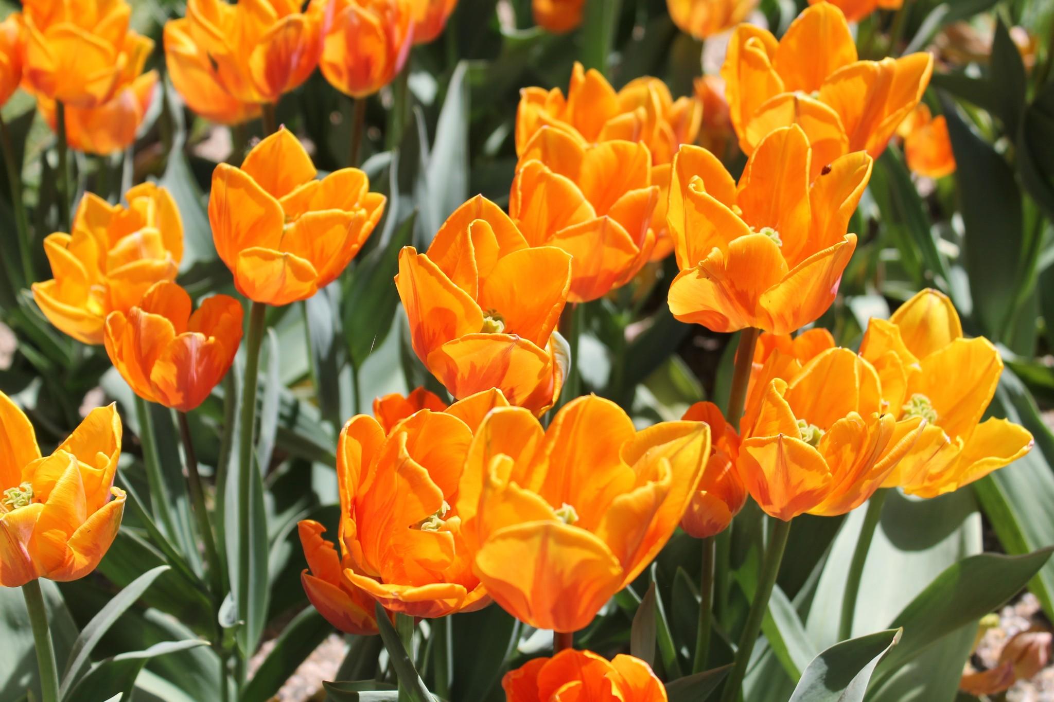 Il parco giardino sigurt e la tulipanomania for Tulipani arancioni