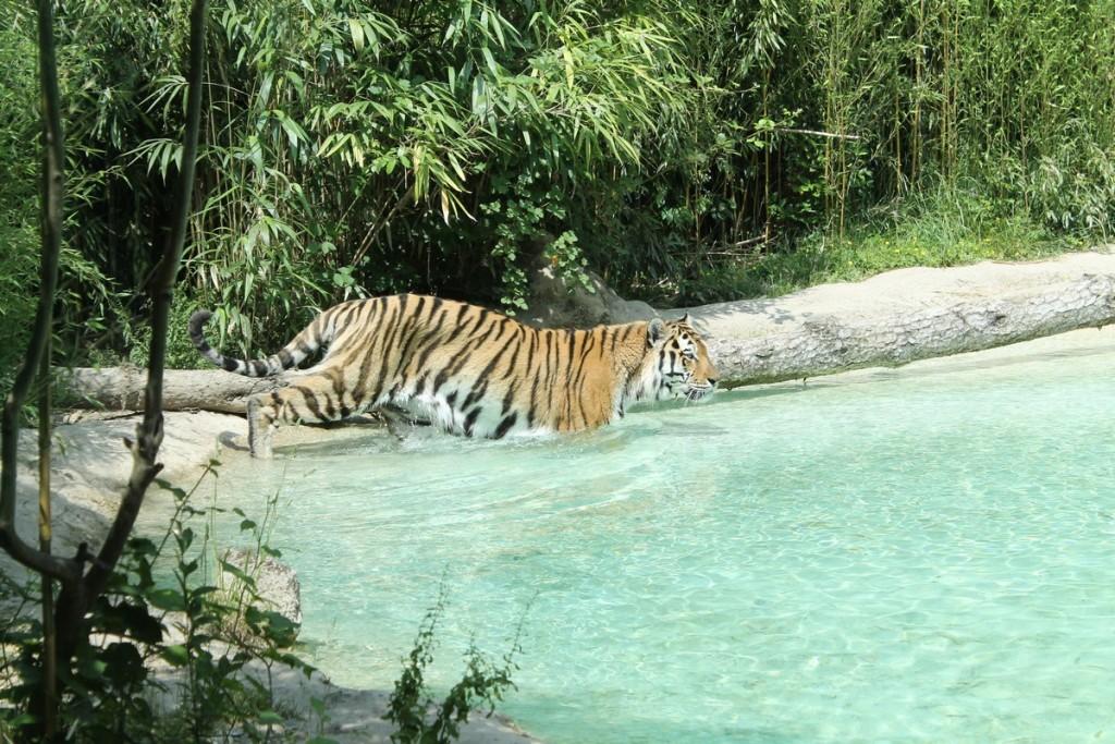 Parco Natura Viva Tigre
