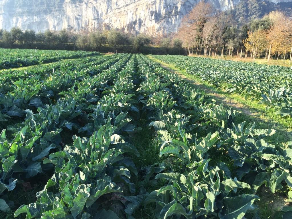 campi broccolo torbole